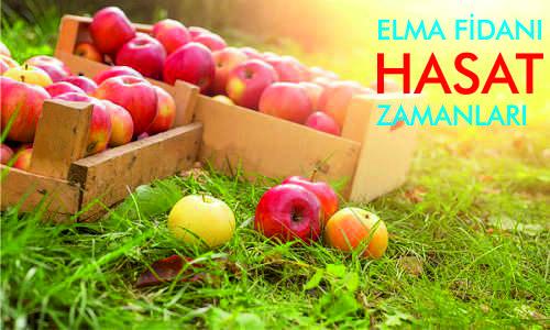 ELMA FİDANI HASAT ZAMANı nedir - Elma fidanlarının hasat zamanları ne zamandır? - elma-fidanlari