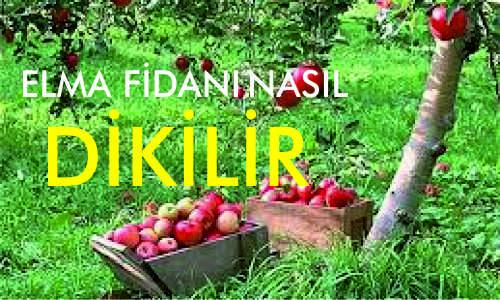 ELMA FİDANI NASIL DİKİLİR - Elma Fidanı Nasıl Dikilir? - fidan-nasil-dikilir, elma-fidanlari