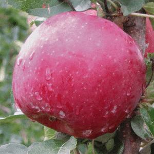 Fuji elma fidanı 300x300 - Fuji elma fidanı - bodur-elma-fidani