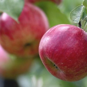 Summer red elma fidanı 300x300 - Summer Red elma fidanı - bodur-elma-fidani