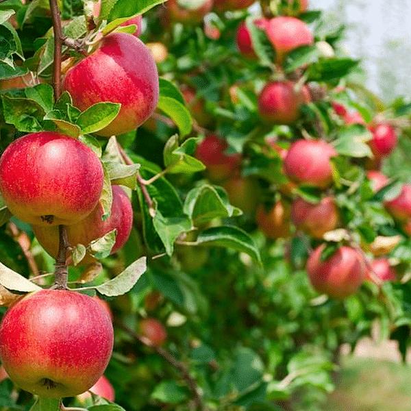 amasya elma fidanı 600x600 - Amasya elma fidanı (misket) yarı bodur - yari-bodur-elma-fidani