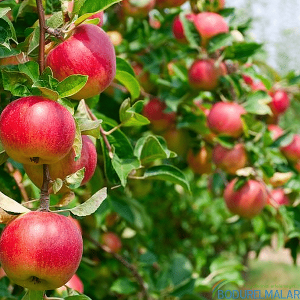 amasya elma fidanı - amasya elma fidanı -