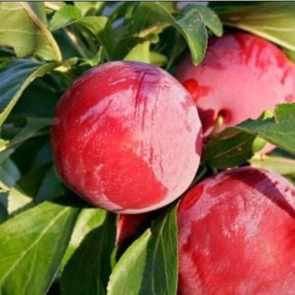 arap kızı elma fidanı 600x600 - Arap Kızı Elma Fidanı - Yarı Bodur - yari-bodur-elma-fidani