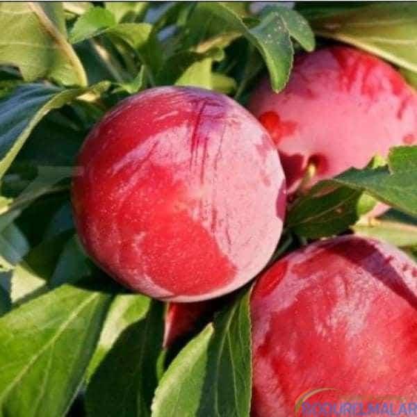 arap kızı elma fidanı - arap kızı elma fidanı -