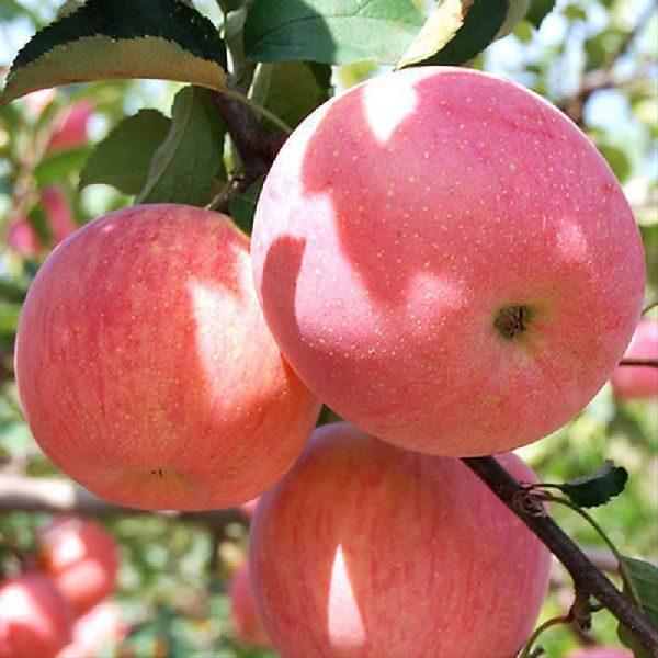 fuji zhen aztec elma fidanı 600x600 - Fuji Zhen Aztec elma fidanı - Yarı Bodur - yari-bodur-elma-fidani