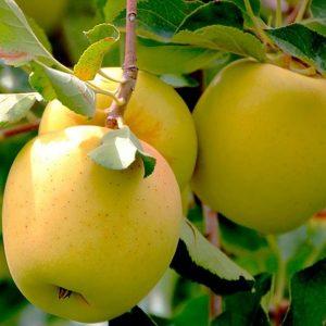 golden delicious elma fidanı 300x300 - Golden Delicious Elma Fidanı - bodur-elma-fidani