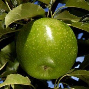 granny smith elma fidanı 300x300 - Granny Smith Elma Fidanı Yarı bodur - yari-bodur-elma-fidani
