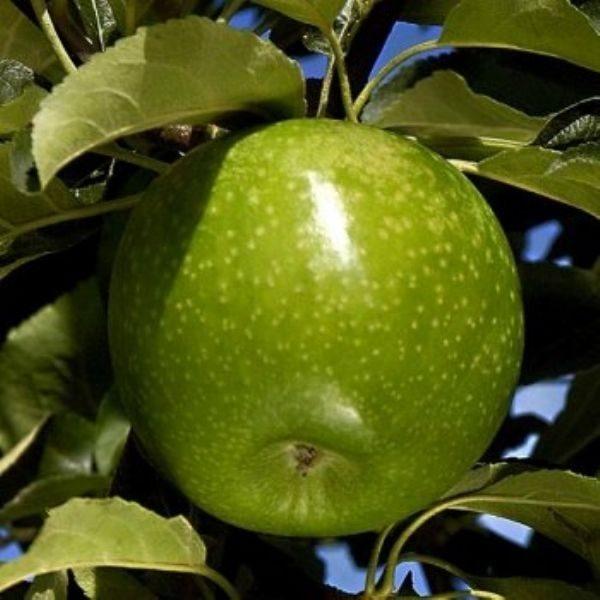 granny smith elma fidanı 600x600 - Granny Smith Elma Fidanı - bodur-elma-fidani