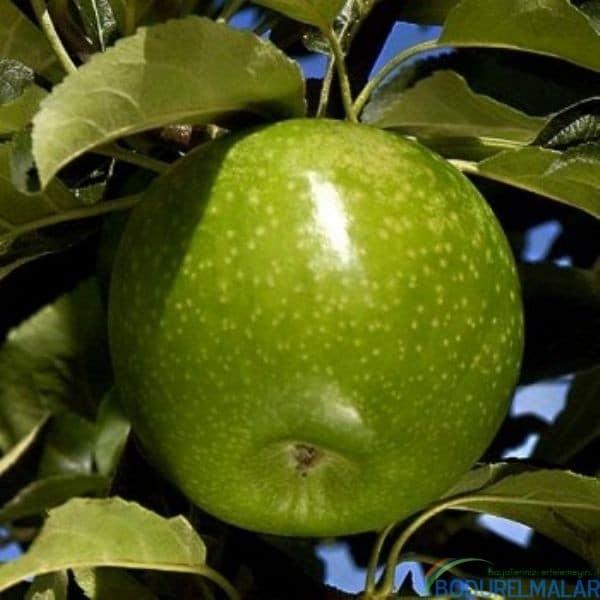 granny smith elma fidanı - granny smith elma fidanı -