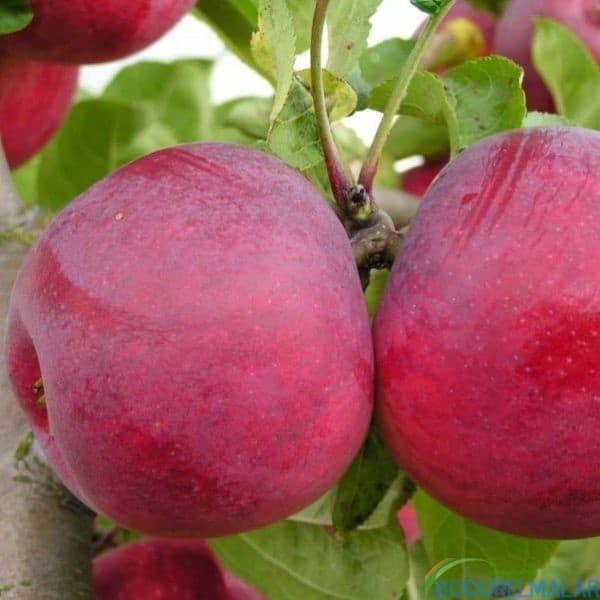 jersey mac elma fidanı - jersey mac elma fidanı -