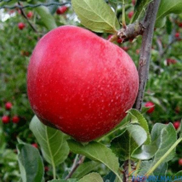 mondial gala elma fidanı - mondial gala elma fidanı -