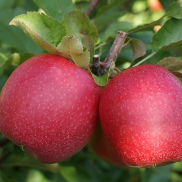 pink lady elma fidanı - pink lady elma fidanı -