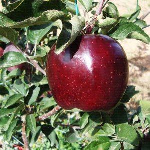 productsquare jeromine 20150927235902 300x300 - Joremine elma fidanı yarı bodur - yari-bodur-elma-fidani