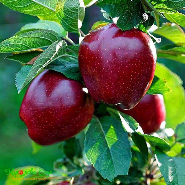 red chief elma fidanı 600x600 - Red Chief elma fidanı - yarı bodur - yari-bodur-elma-fidani