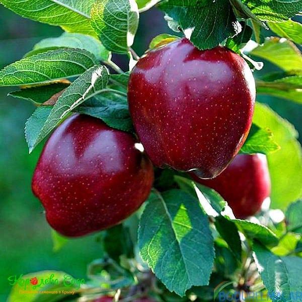 red chief elma fidanı - red chief elma fidanı -