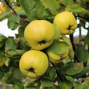 ayva fidani limon 300x300 - Limon Ayva Fidanı - ayva-fidanlari