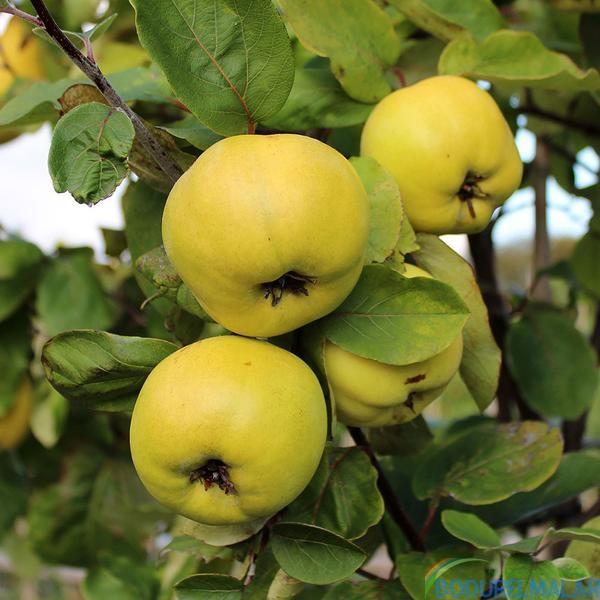 ayva fidani limon - ayva-fidani-limon -